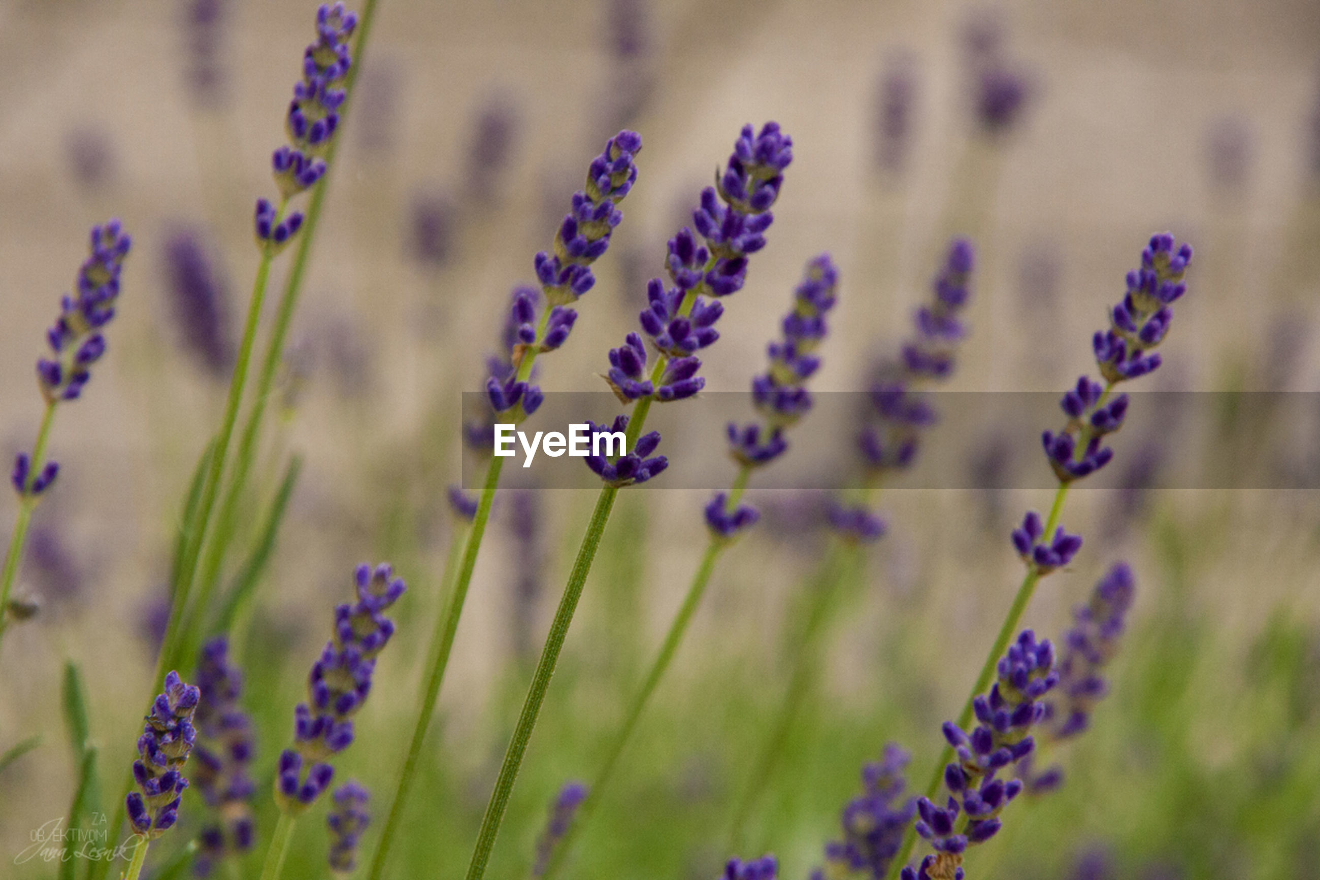 flower, purple, freshness, growth, fragility, focus on foreground, plant, stem, beauty in nature, close-up, nature, selective focus, field, blooming, petal, blue, wildflower, in bloom, day, lavender