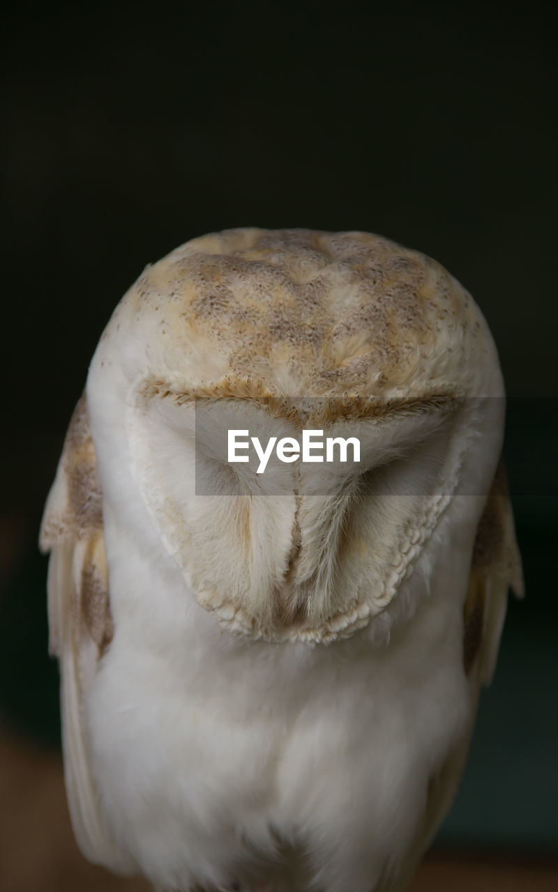 Close-Up Of Barn Owl Against Black Background