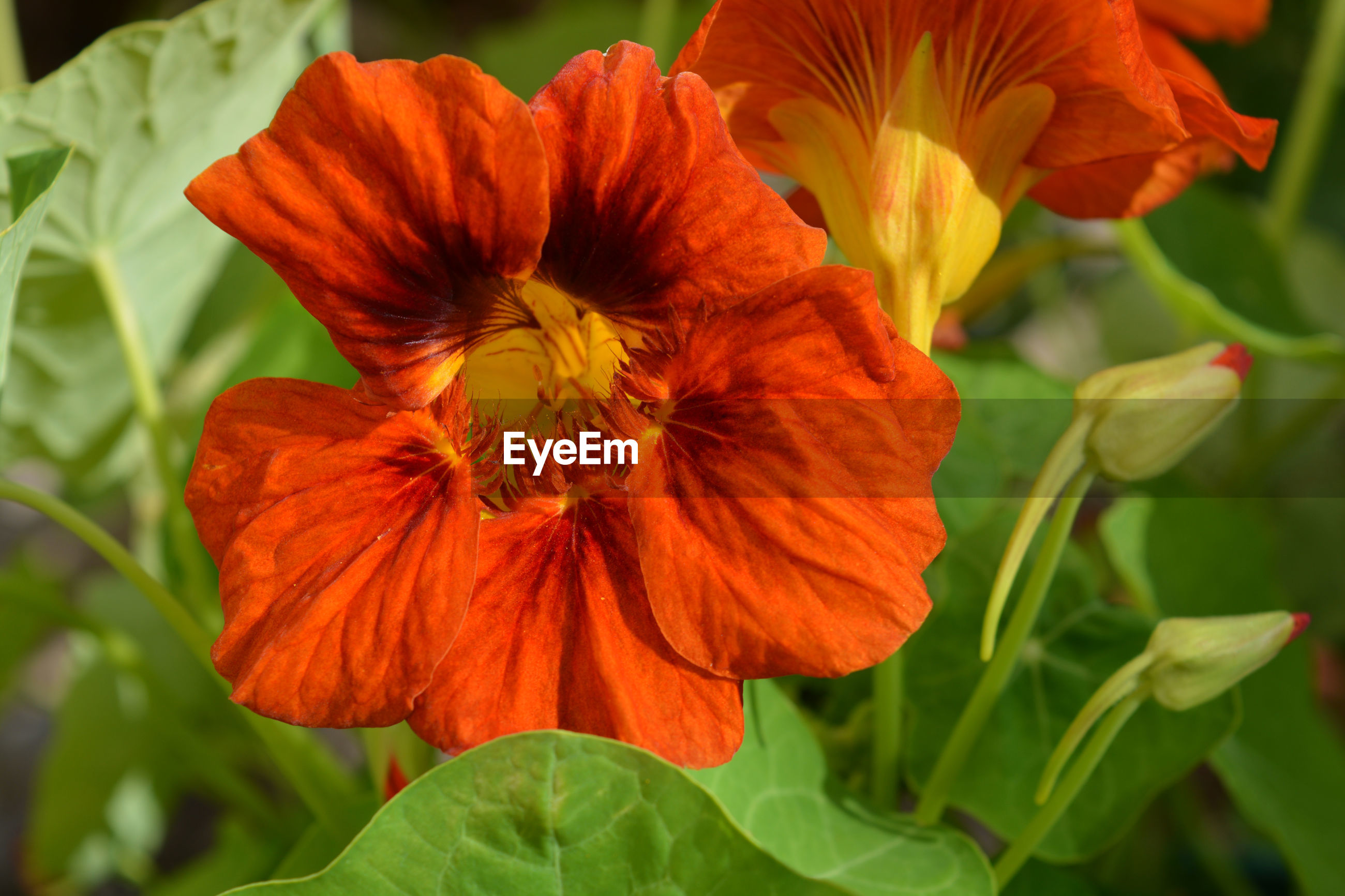 CLOSE-UP OF RED ORANGE FLOWER AGAINST PLANTS