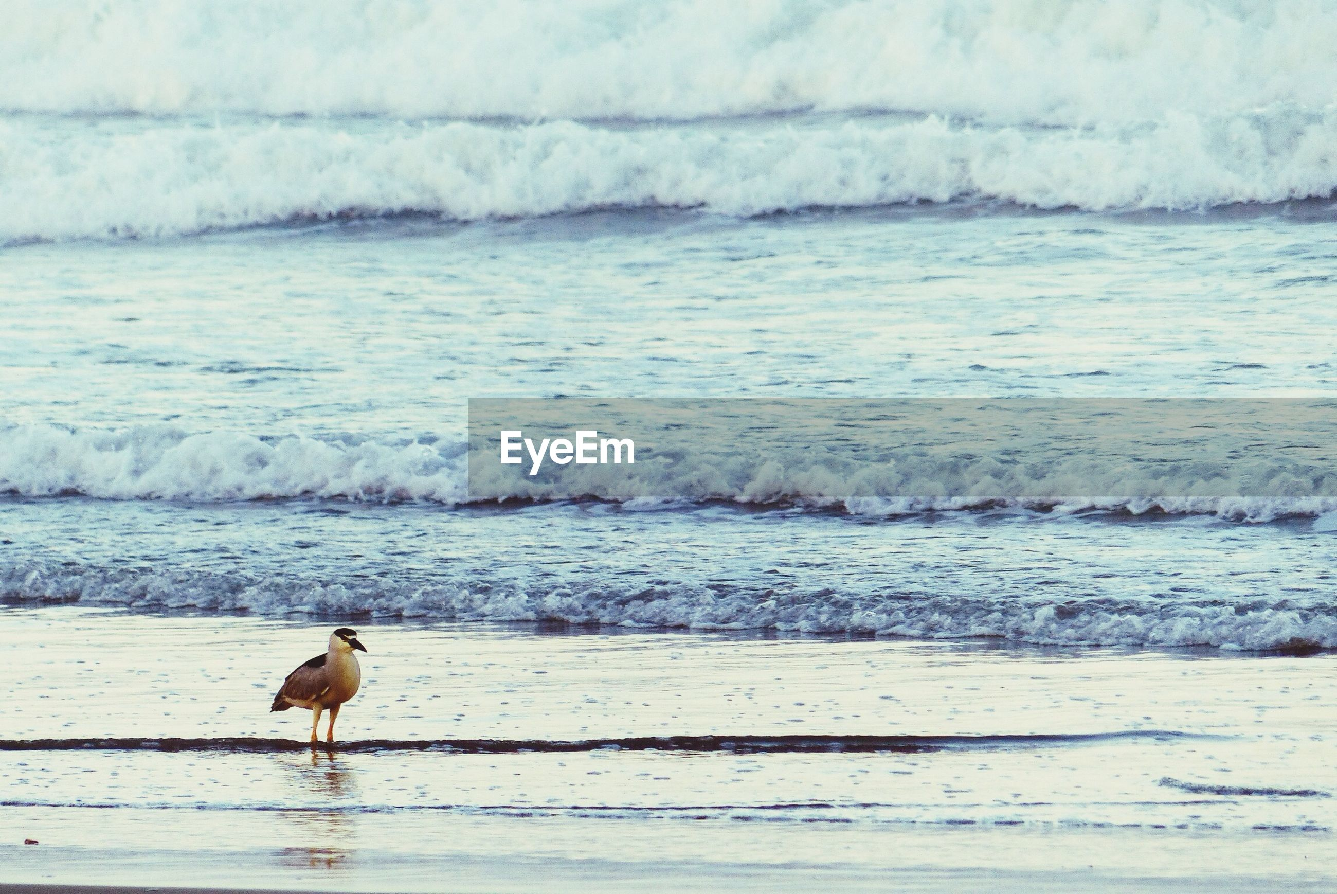 animal themes, one animal, water, sea, animals in the wild, bird, wildlife, beach, nature, seagull, beauty in nature, wave, shore, full length, mammal, tranquility, day, outdoors, perching, cold temperature