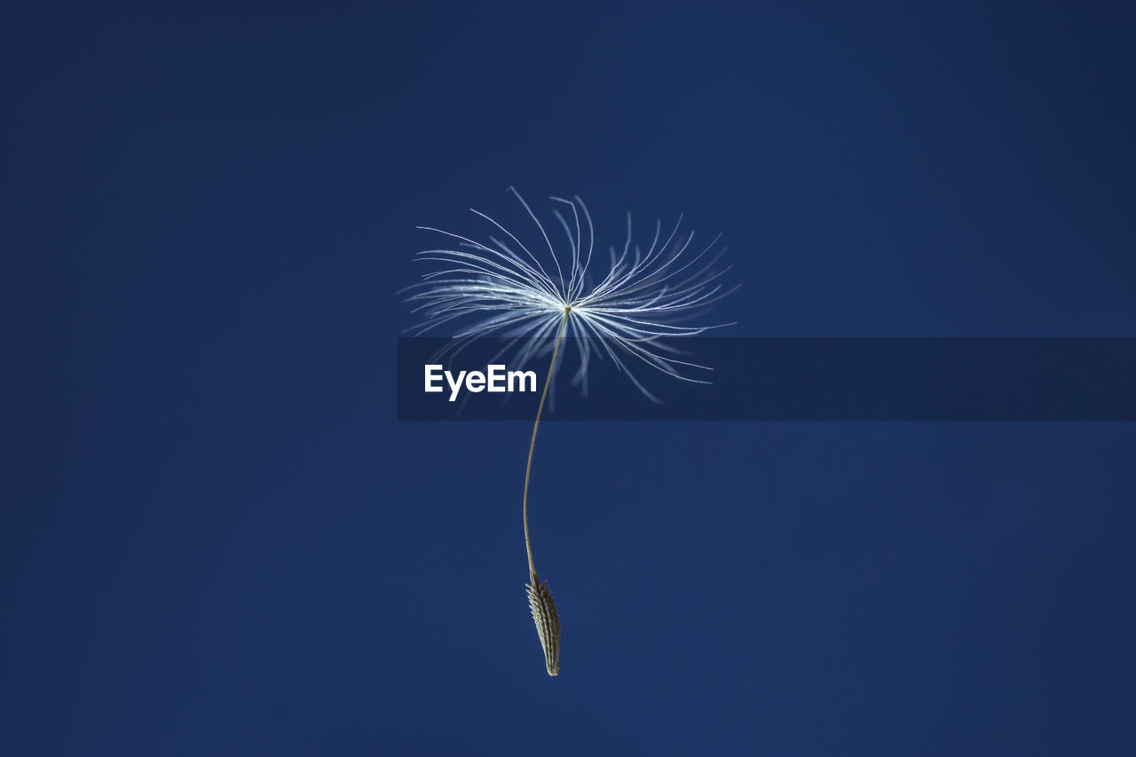 Low angle view of dandelion seed against blue sky