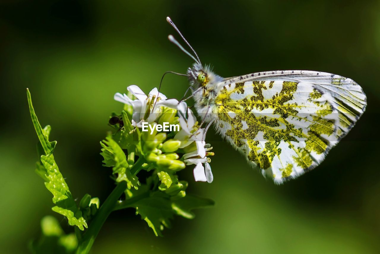 Close-up of butterfly on white flowers at park