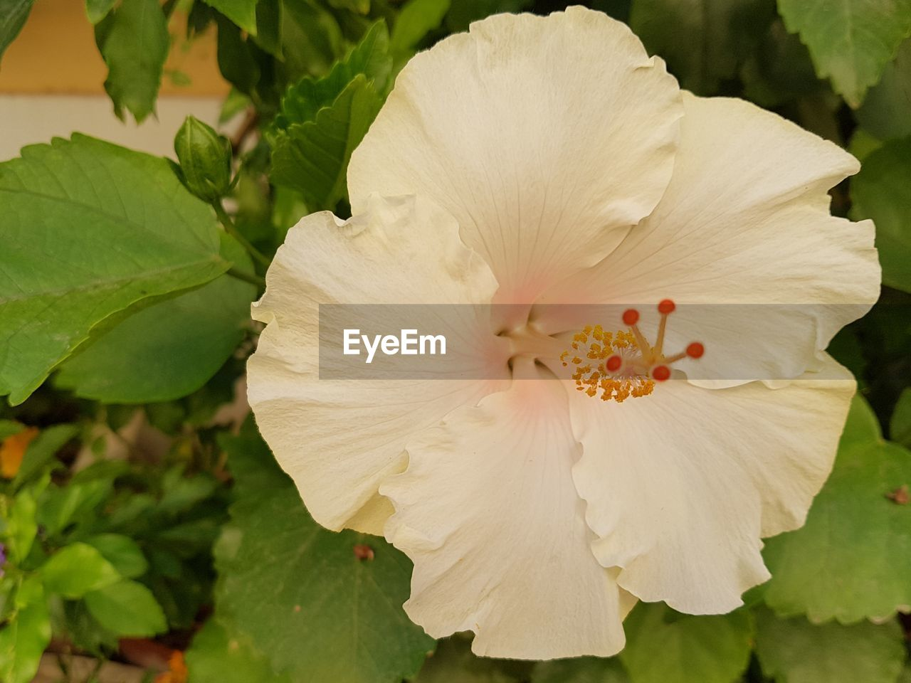 flower, petal, fragility, flower head, beauty in nature, growth, nature, plant, freshness, close-up, leaf, white color, day, stamen, blooming, outdoors, hibiscus, no people