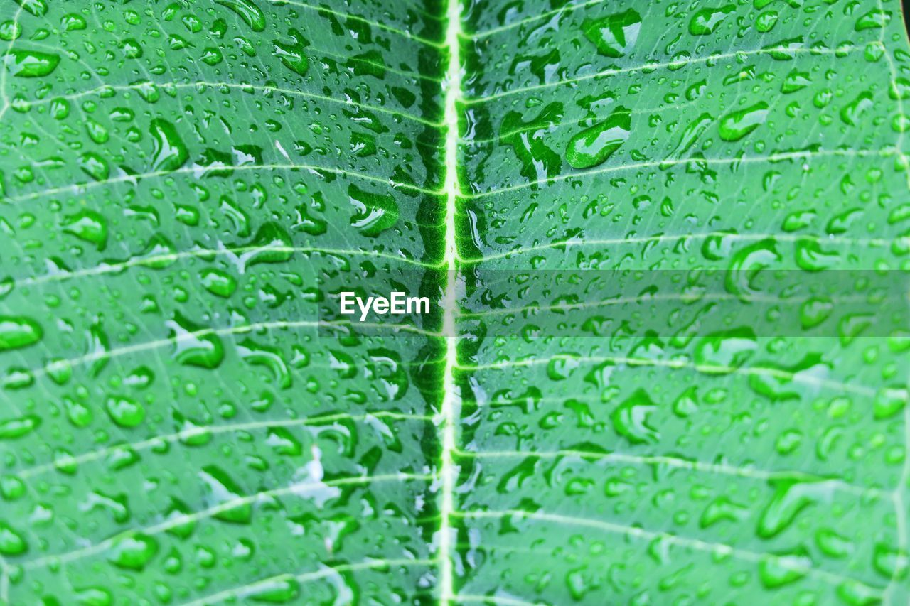 green color, backgrounds, wet, plant part, leaf, drop, plant, growth, leaf vein, water, full frame, nature, close-up, freshness, no people, day, outdoors, rain, pattern, raindrop, dew, rainy season, purity, leaves, textured effect