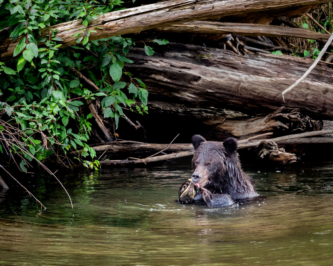 animal, animal themes, water, one animal, animal wildlife, waterfront, vertebrate, mammal, nature, lake, animals in the wild, day, plant, outdoors, no people, tree, swimming, wood - material, animal head
