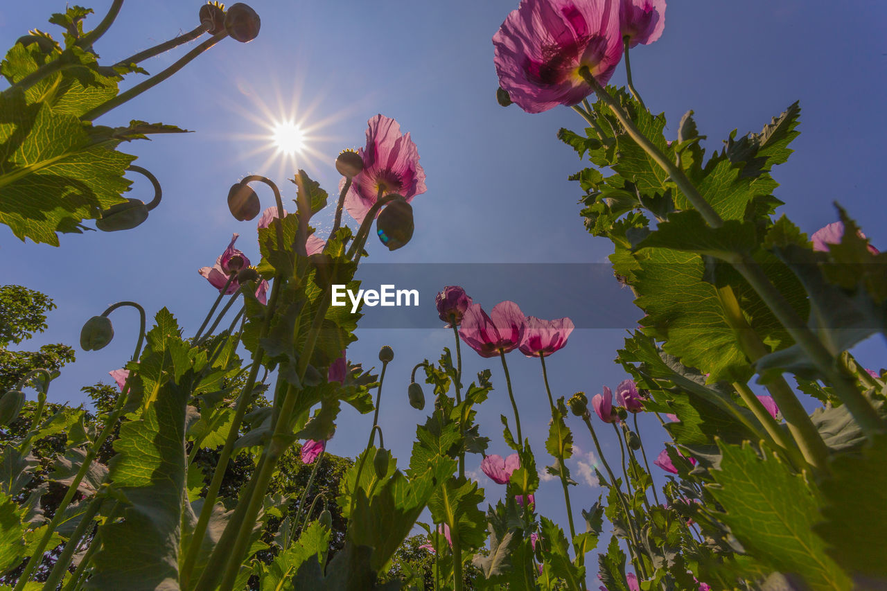 plant, growth, flowering plant, flower, beauty in nature, sky, fragility, vulnerability, nature, petal, freshness, close-up, leaf, plant part, no people, low angle view, sunlight, green color, inflorescence, day, flower head, outdoors, bright