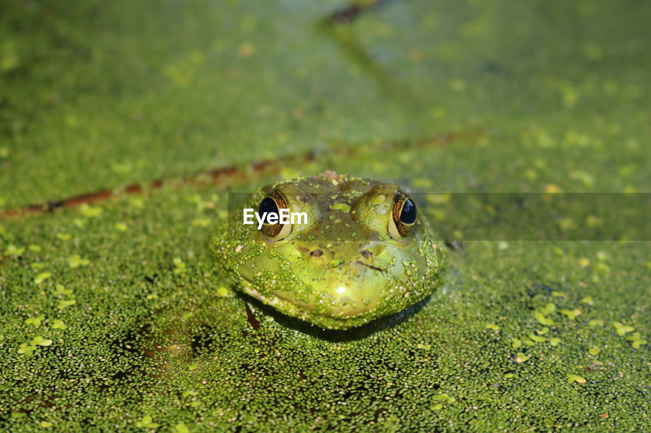 Close-up portrait of frog in swamp