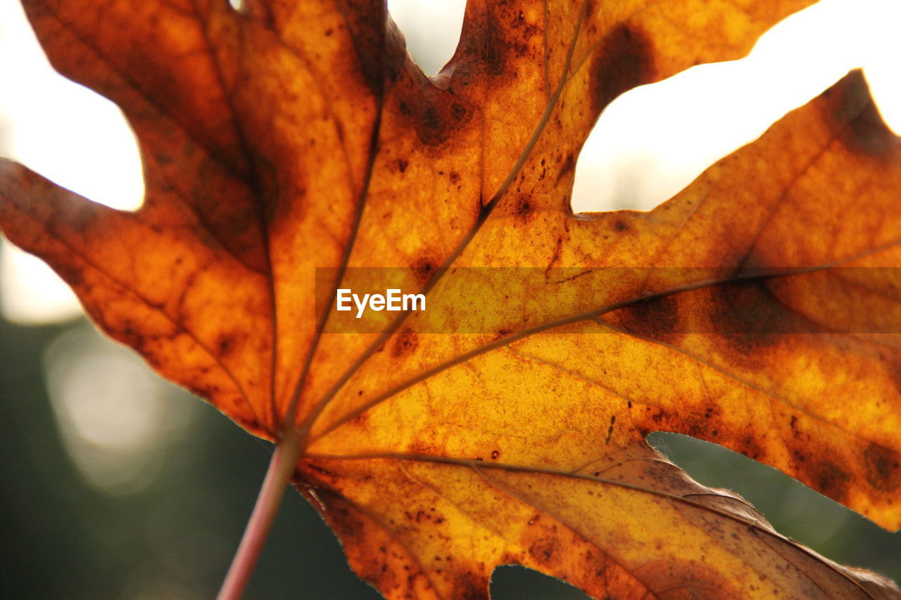 leaf, autumn, close-up, change, nature, day, dry, outdoors, maple leaf, no people, beauty in nature, maple, focus on foreground, fragility, growth