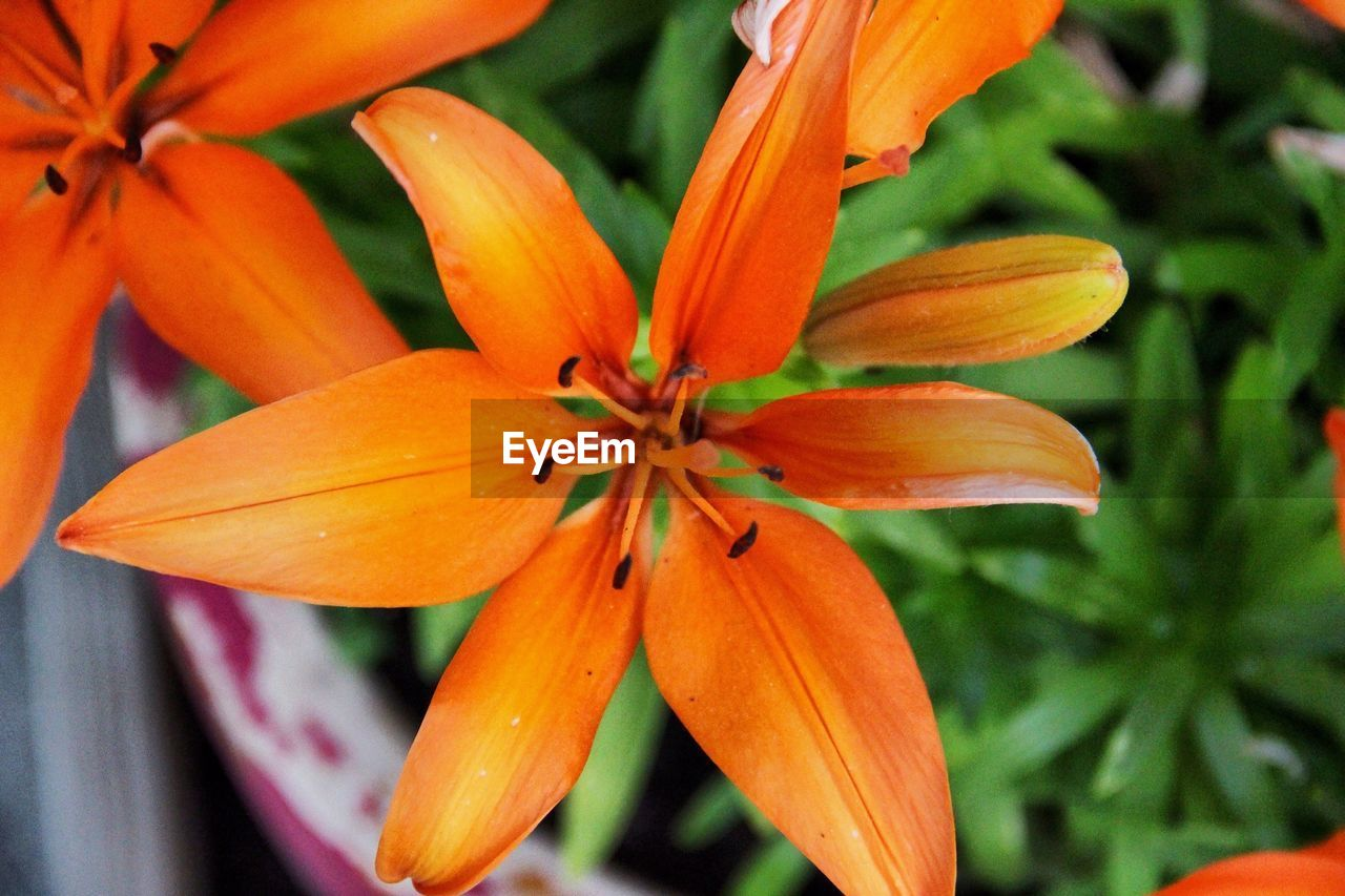 flower, orange color, petal, beauty in nature, growth, freshness, nature, fragility, flower head, blooming, close-up, no people, day, outdoors, day lily
