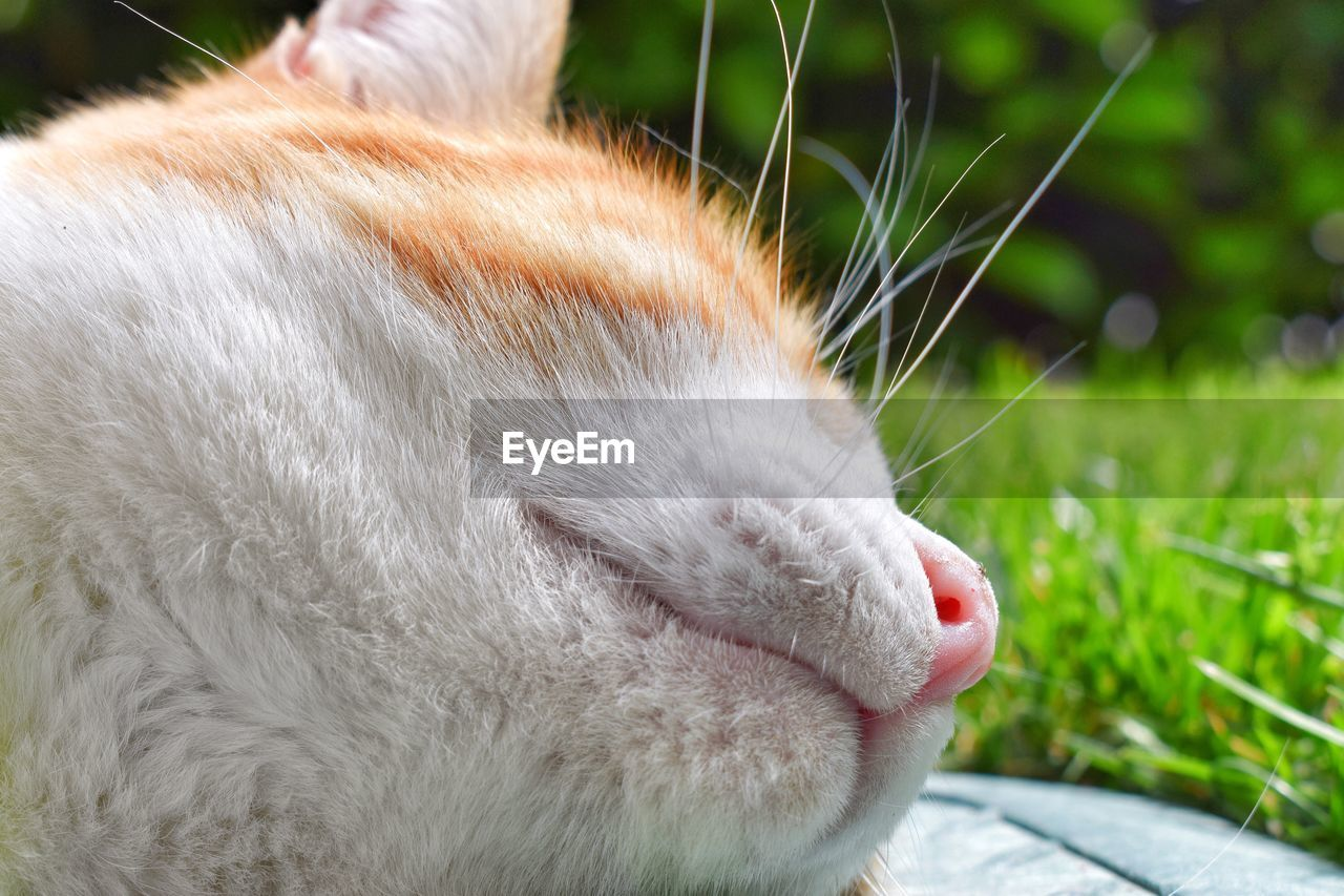 one animal, mammal, animal themes, pets, animal, domestic, domestic animals, domestic cat, feline, cat, vertebrate, close-up, animal body part, animal head, relaxation, whisker, no people, focus on foreground, day, eyes closed, snout, animal nose