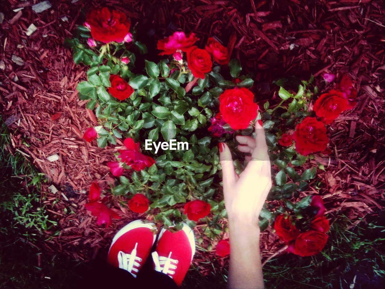 High angle view of woman picking rose in garden
