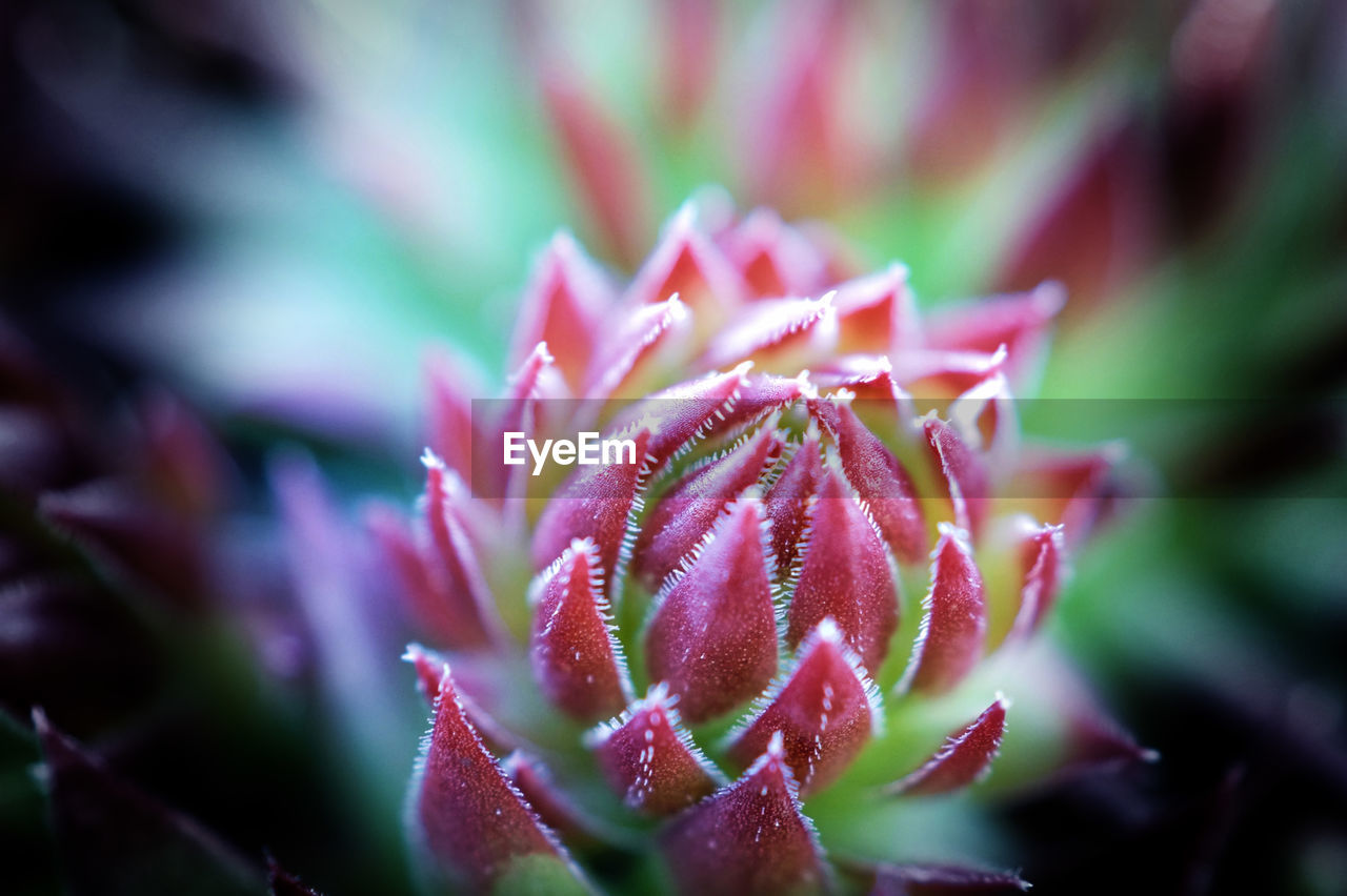 Dachwurz Beauty In Nature Blooming Close-up Flower Flower Head Fragility Growth Nature No People Plant Selective Focus