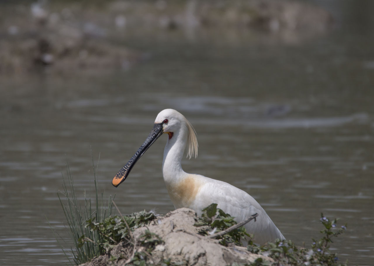 animals in the wild, one animal, bird, water, animal themes, nature, day, lake, animal wildlife, focus on foreground, beak, outdoors, no people, close-up, beauty in nature, swan