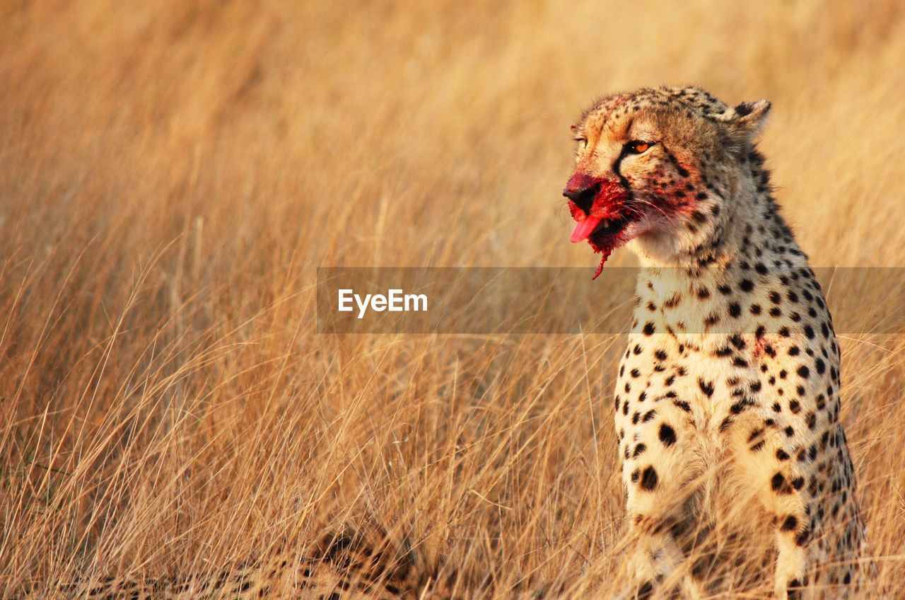 Close-up of cheetah on grassy field