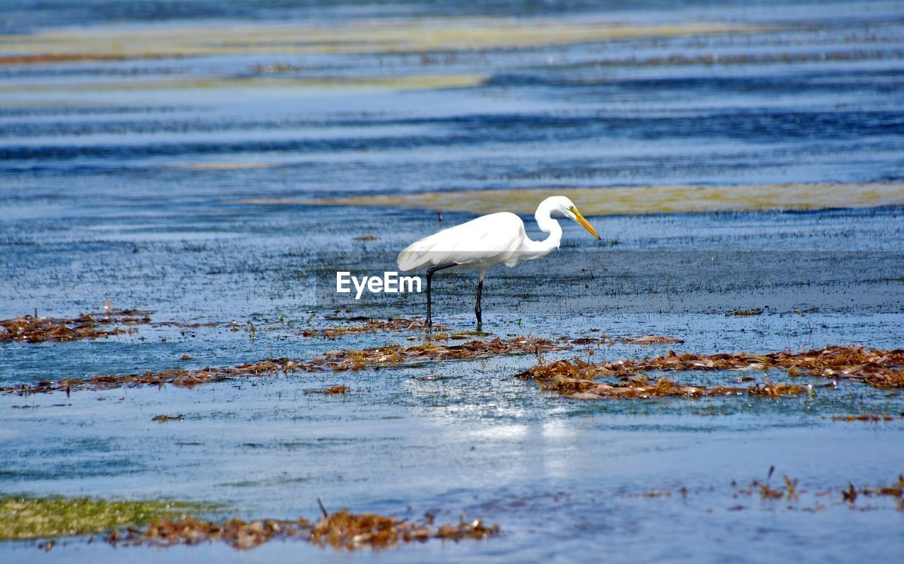 animals in the wild, water, bird, one animal, nature, waterfront, animal themes, day, lake, animal wildlife, outdoors, no people, great egret, beauty in nature
