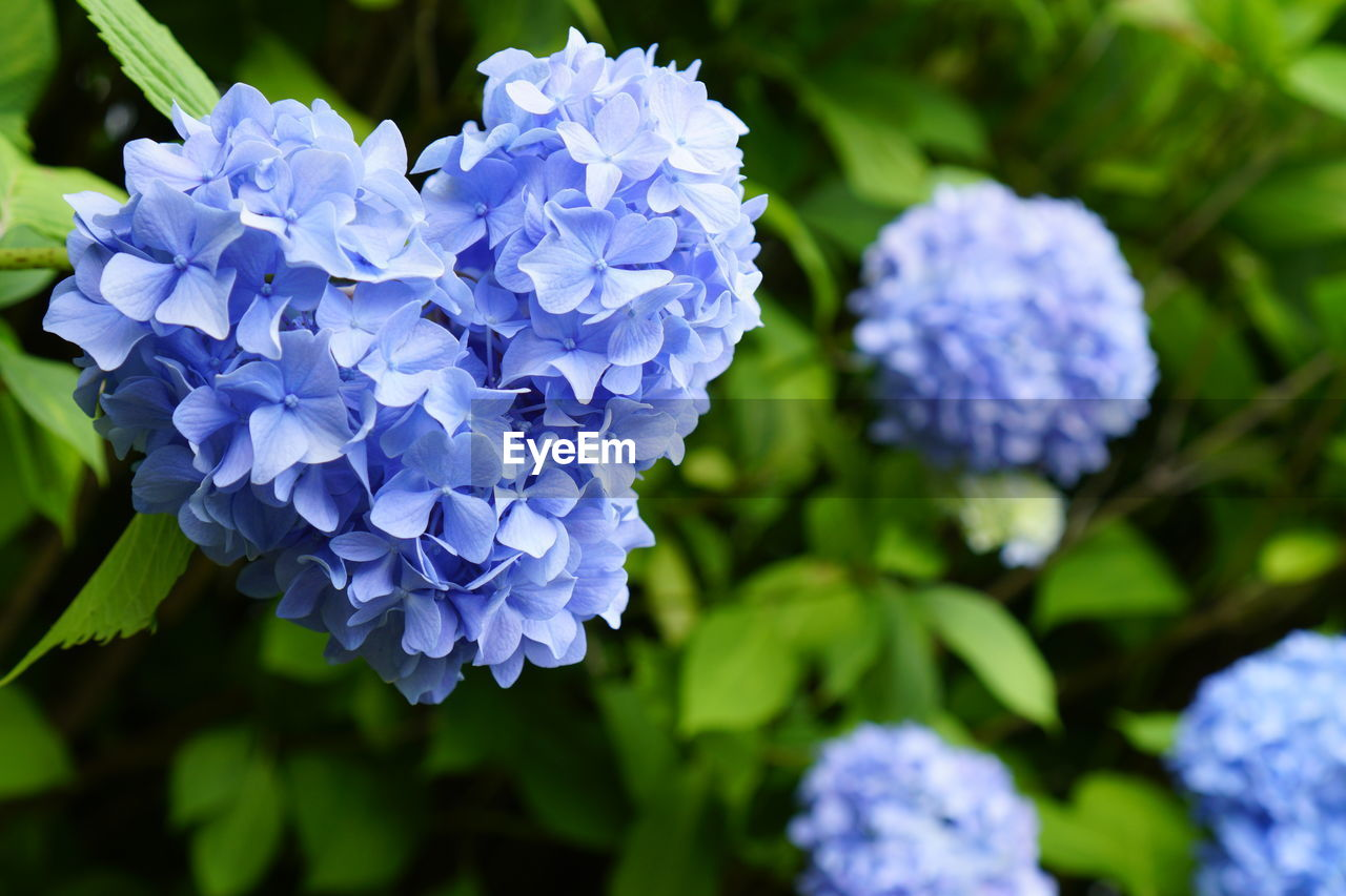 flower, flowering plant, fragility, vulnerability, freshness, beauty in nature, plant, close-up, petal, growth, purple, inflorescence, blue, flower head, nature, focus on foreground, day, no people, hydrangea, botany, bunch of flowers, lilac