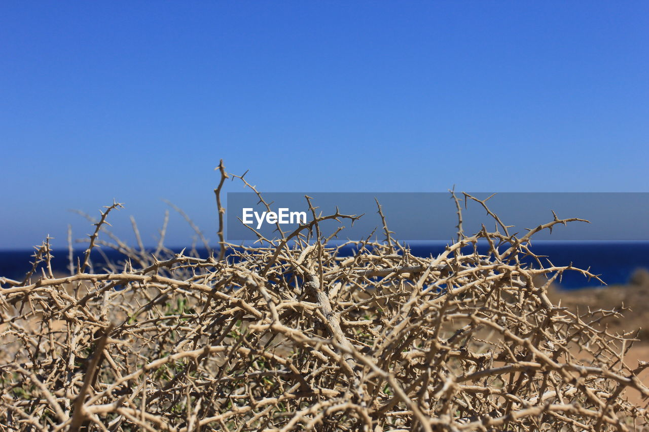 nature, outdoors, day, no people, clear sky, blue, tranquility, dead plant, plant, beauty in nature, growth, close-up, sky