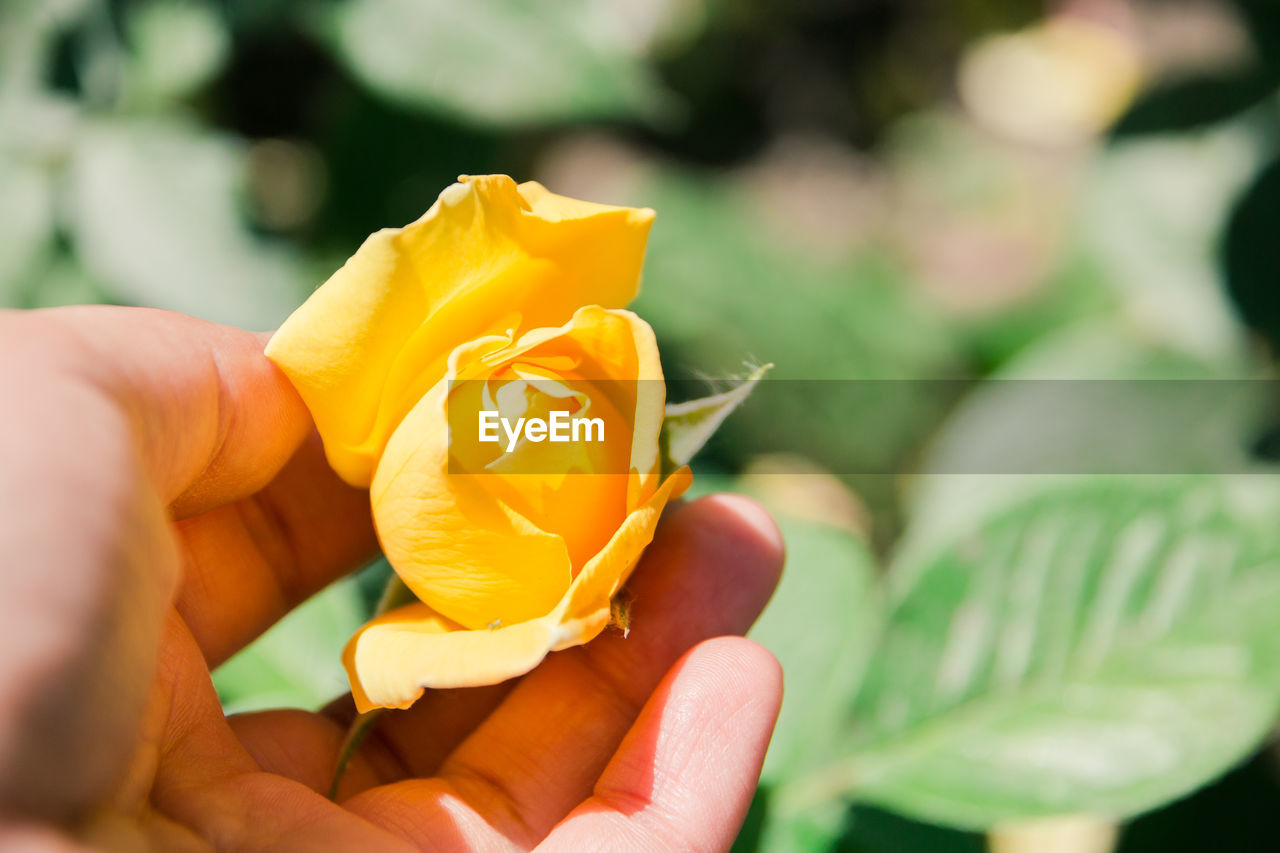 human hand, hand, holding, real people, human body part, flower, flowering plant, freshness, one person, plant, yellow, vulnerability, petal, fragility, beauty in nature, close-up, nature, focus on foreground, body part, flower head, finger, outdoors