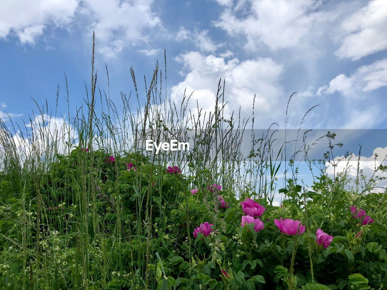plant, flower, flowering plant, beauty in nature, growth, sky, freshness, cloud - sky, land, vulnerability, fragility, nature, field, day, no people, tranquility, green color, petal, grass, tranquil scene, outdoors, flower head