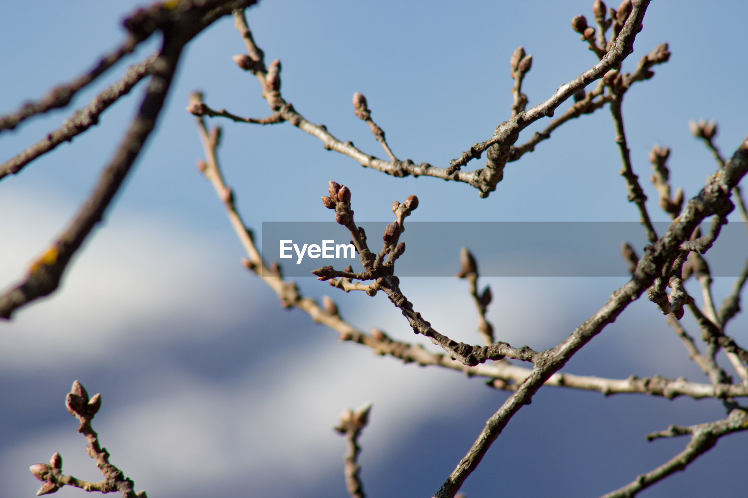 CLOSE-UP OF FLOWER TREE AGAINST CLEAR SKY