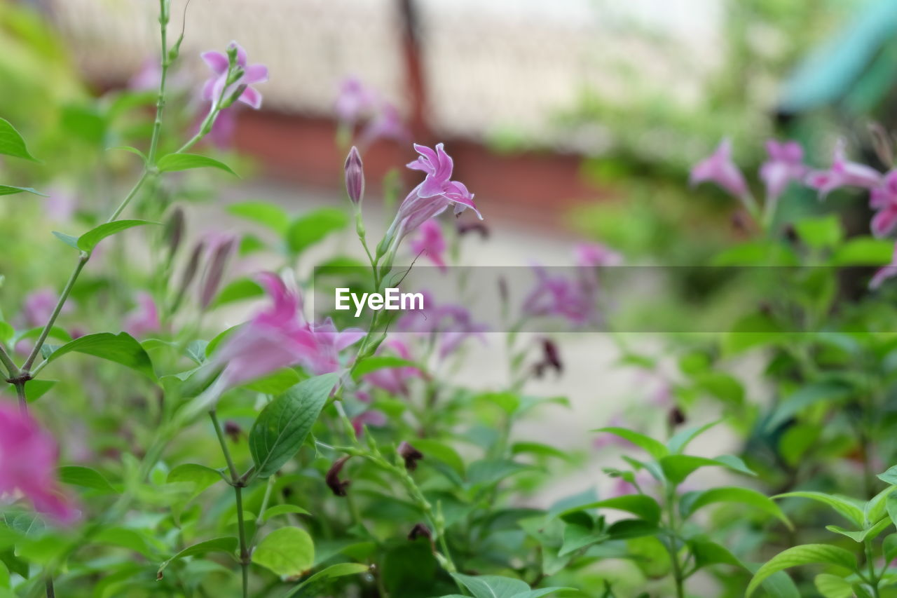 plant, flowering plant, flower, freshness, growth, beauty in nature, fragility, vulnerability, pink color, close-up, petal, selective focus, nature, day, no people, purple, flower head, inflorescence, leaf, plant part
