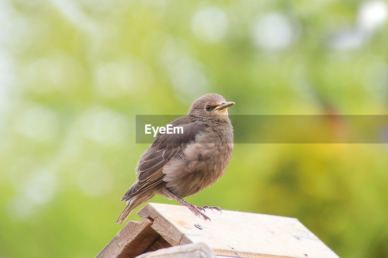 animal, vertebrate, bird, animal themes, animals in the wild, one animal, animal wildlife, perching, focus on foreground, day, close-up, no people, nature, outdoors, wood - material, plant, tree, low angle view, sparrow, looking, small