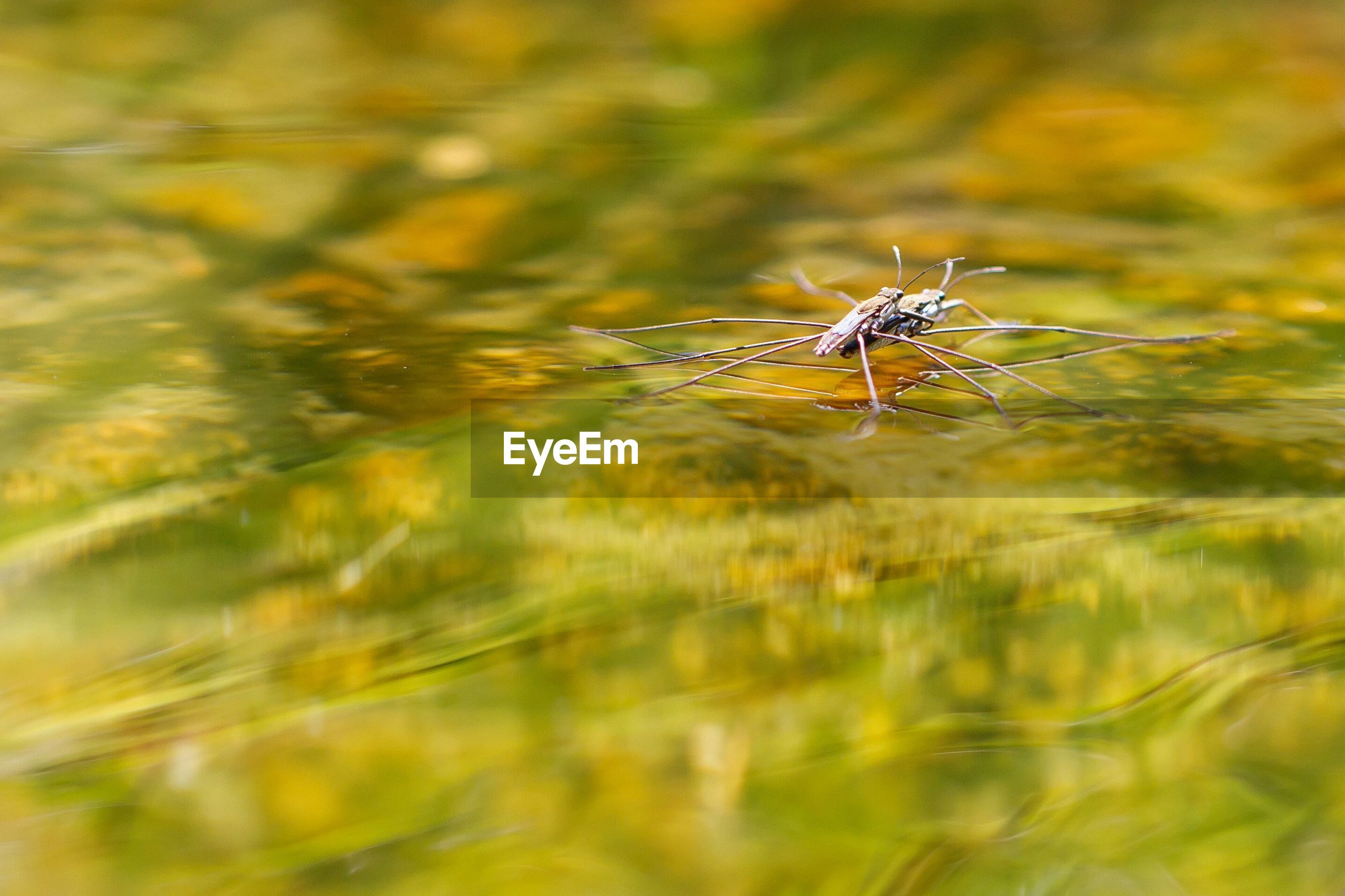 Two insects copulating on water surface