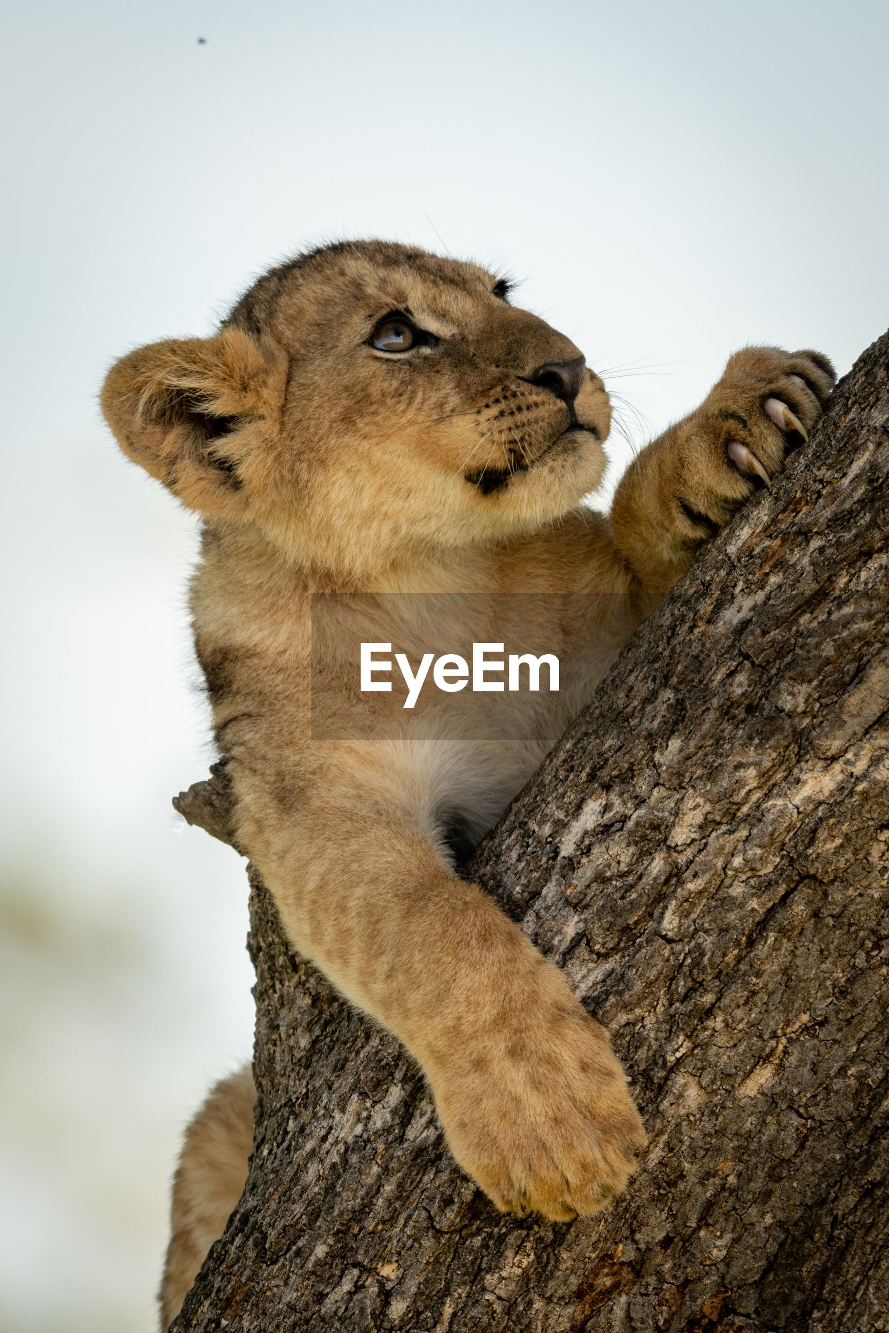 Low angle view of lion cub resting on tree trunk