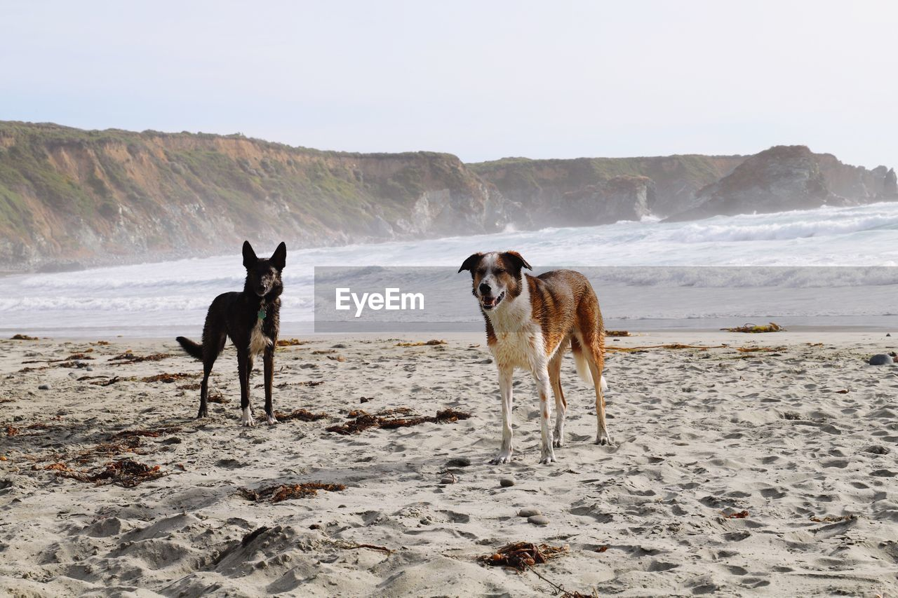 pets, domestic, domestic animals, mammal, animal themes, animal, dog, land, canine, group of animals, vertebrate, beach, sky, two animals, nature, sand, sea, water, day, no people
