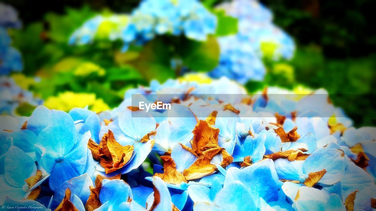 close-up, no people, day, beauty in nature, focus on foreground, blue, plant, nature, leaf, fragility, plant part, vulnerability, outdoors, growth, white color, autumn, leaves, freshness, change, sunlight