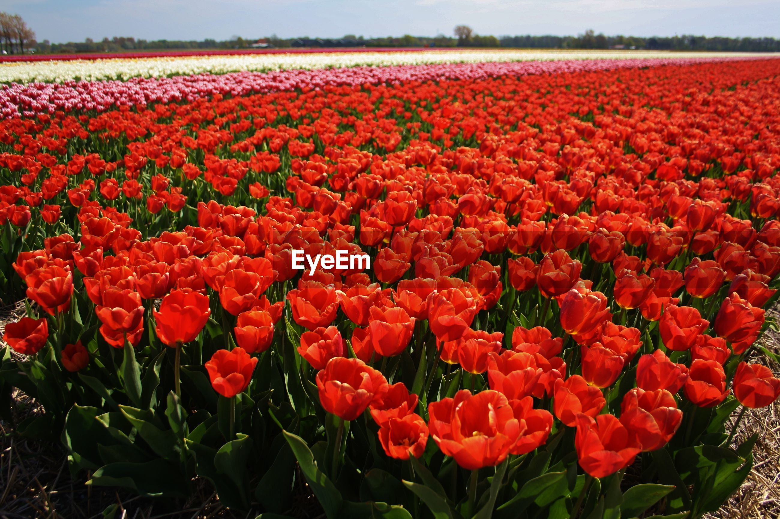 Red tulips in field