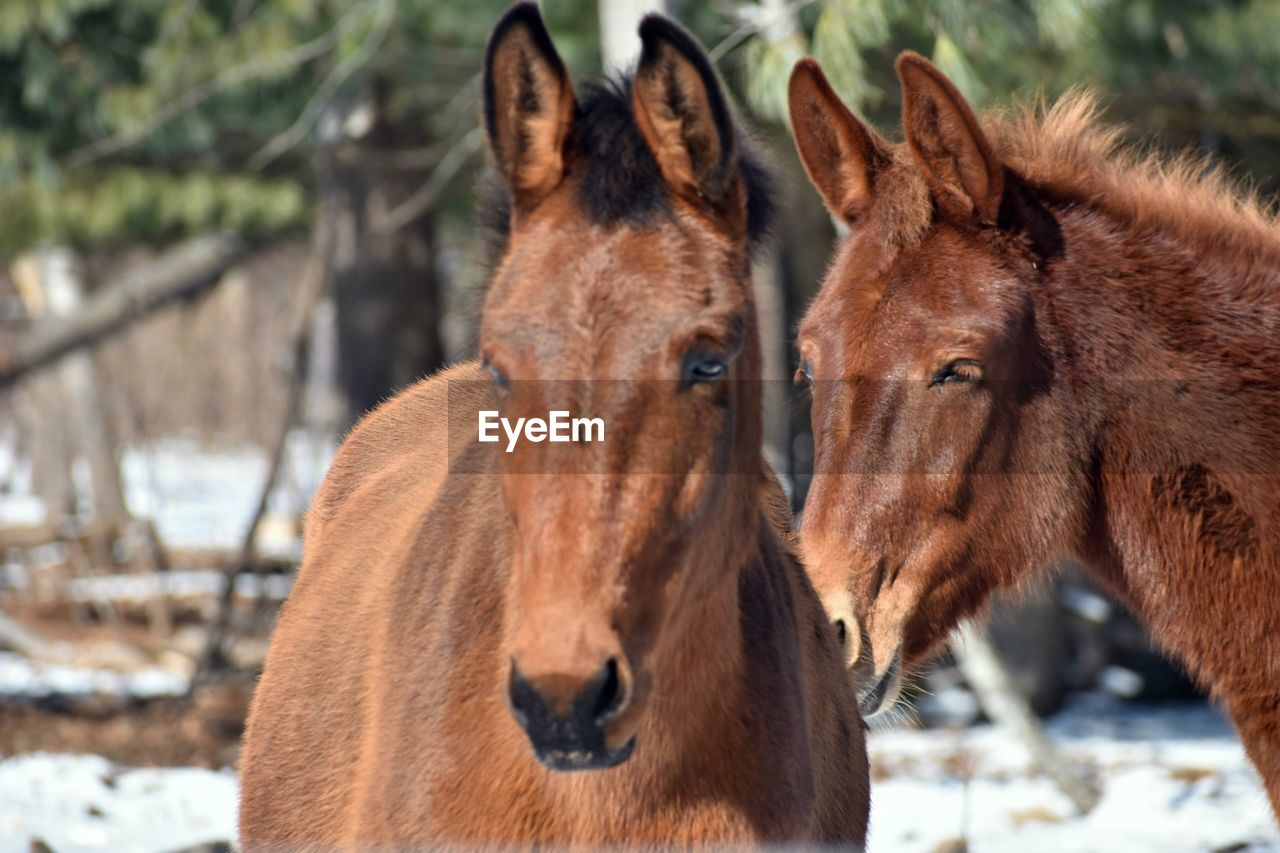 mammal, group of animals, brown, focus on foreground, two animals, animal, winter, snow, cold temperature, animal themes, vertebrate, domestic animals, animal wildlife, nature, day, domestic, pets, horse, no people, herbivorous, animal head