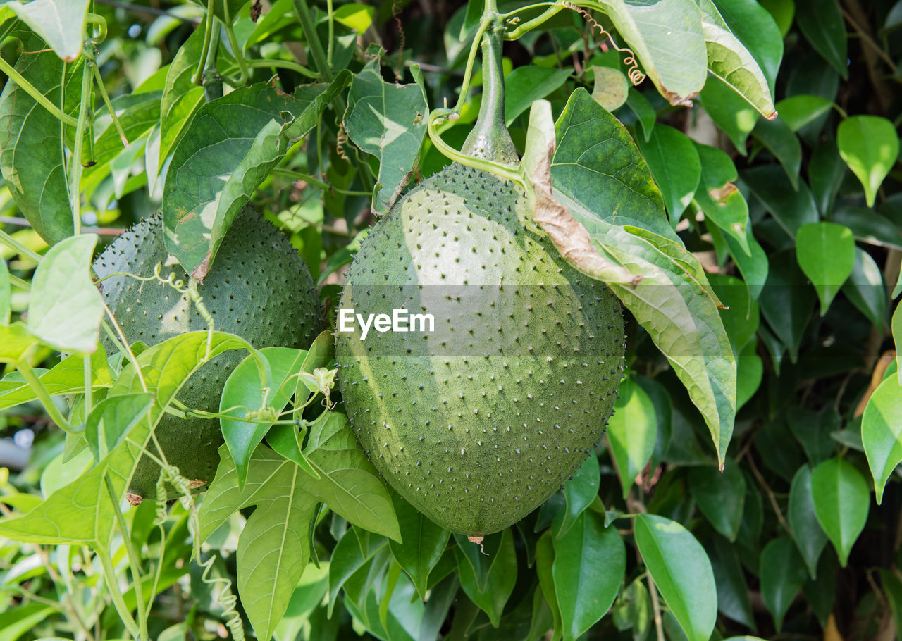 growth, food and drink, leaf, fruit, food, green color, nature, unripe, no people, freshness, healthy eating, outdoors, plant, day, close-up, tree, beauty in nature