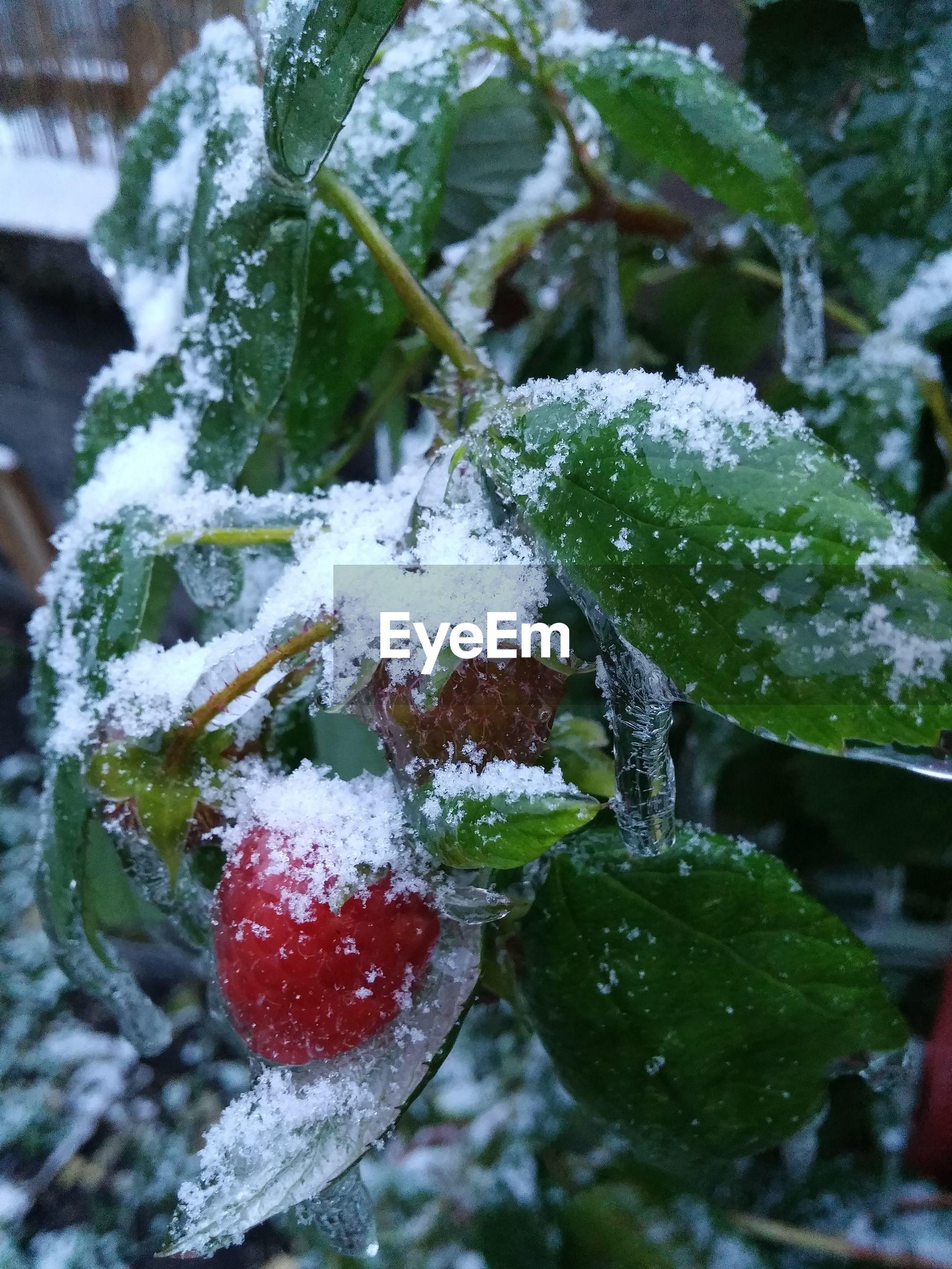 Snow covered raspberry bush