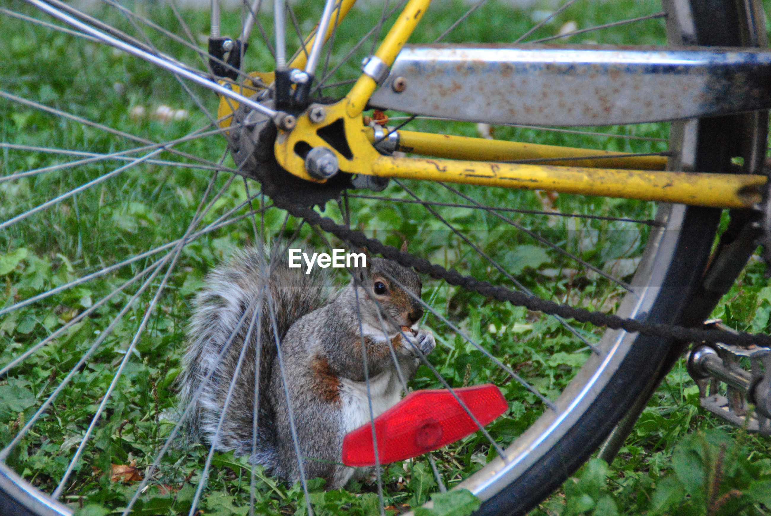 Close-up of squirrel eating food on grass seen through bicycle wheel