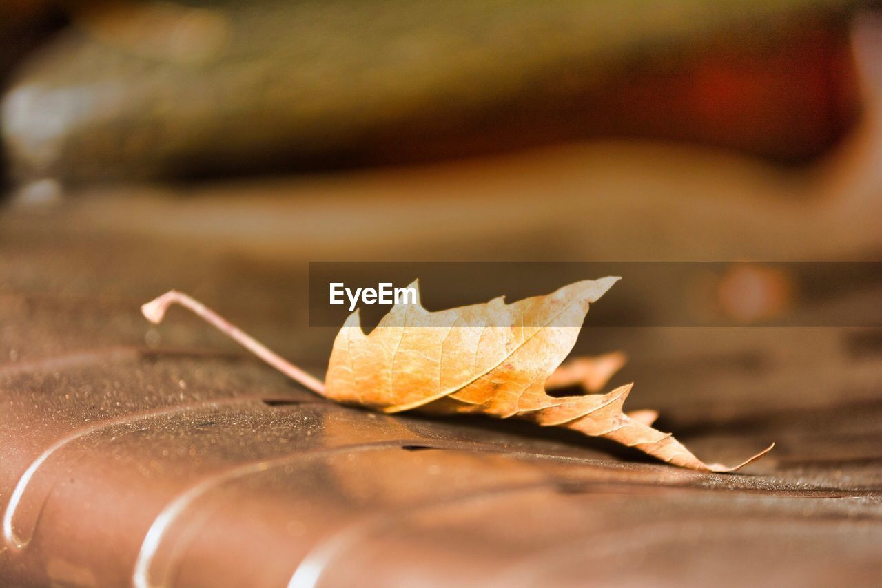 leaf, autumn, change, selective focus, dry, close-up, nature, maple leaf, day, no people, maple, outdoors, beauty in nature, fragility