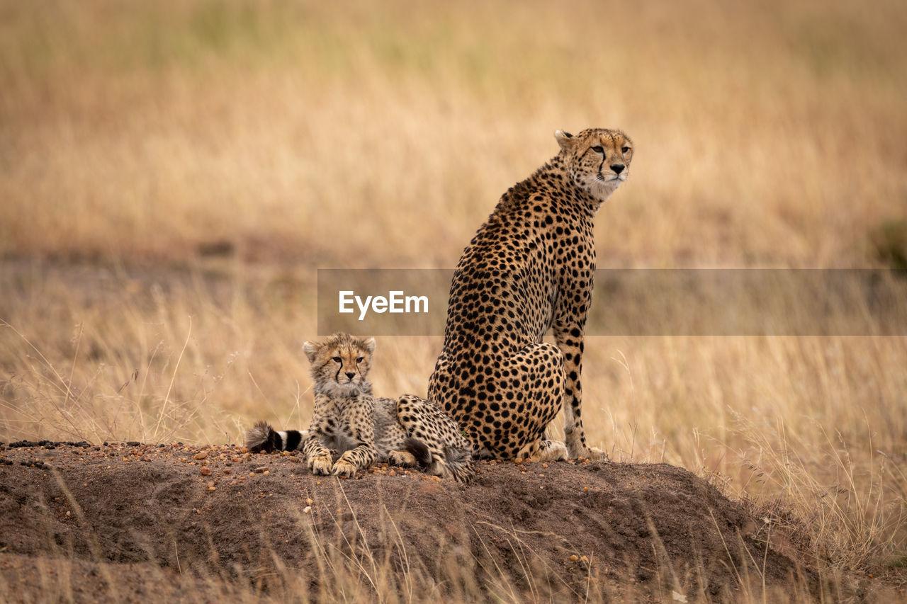 Cheetah sitting on rock in zoo
