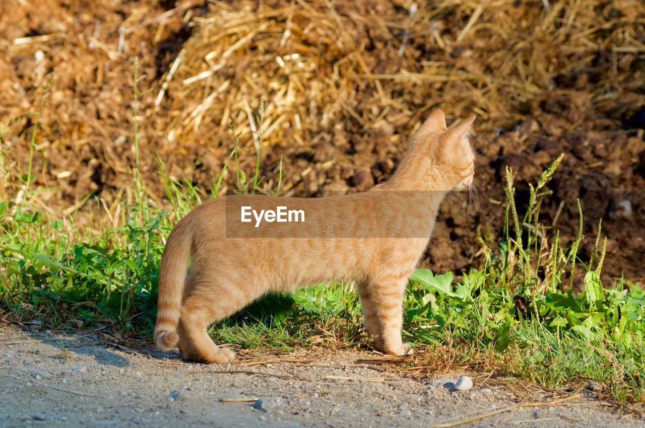 one animal, mammal, animal wildlife, animals in the wild, side view, vertebrate, no people, full length, nature, day, feline, grass, cat, outdoors, domestic animals, survival, animals hunting, profile view, semi-arid