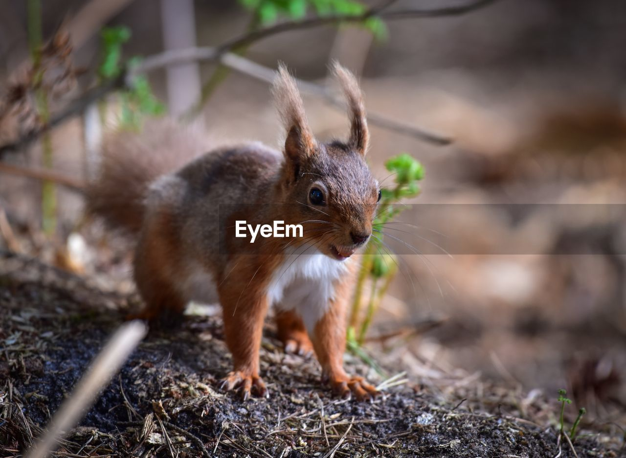 animal themes, mammal, animal, one animal, no people, animal wildlife, land, day, animals in the wild, rodent, vertebrate, nature, focus on foreground, field, close-up, full length, selective focus, outdoors, squirrel, whisker