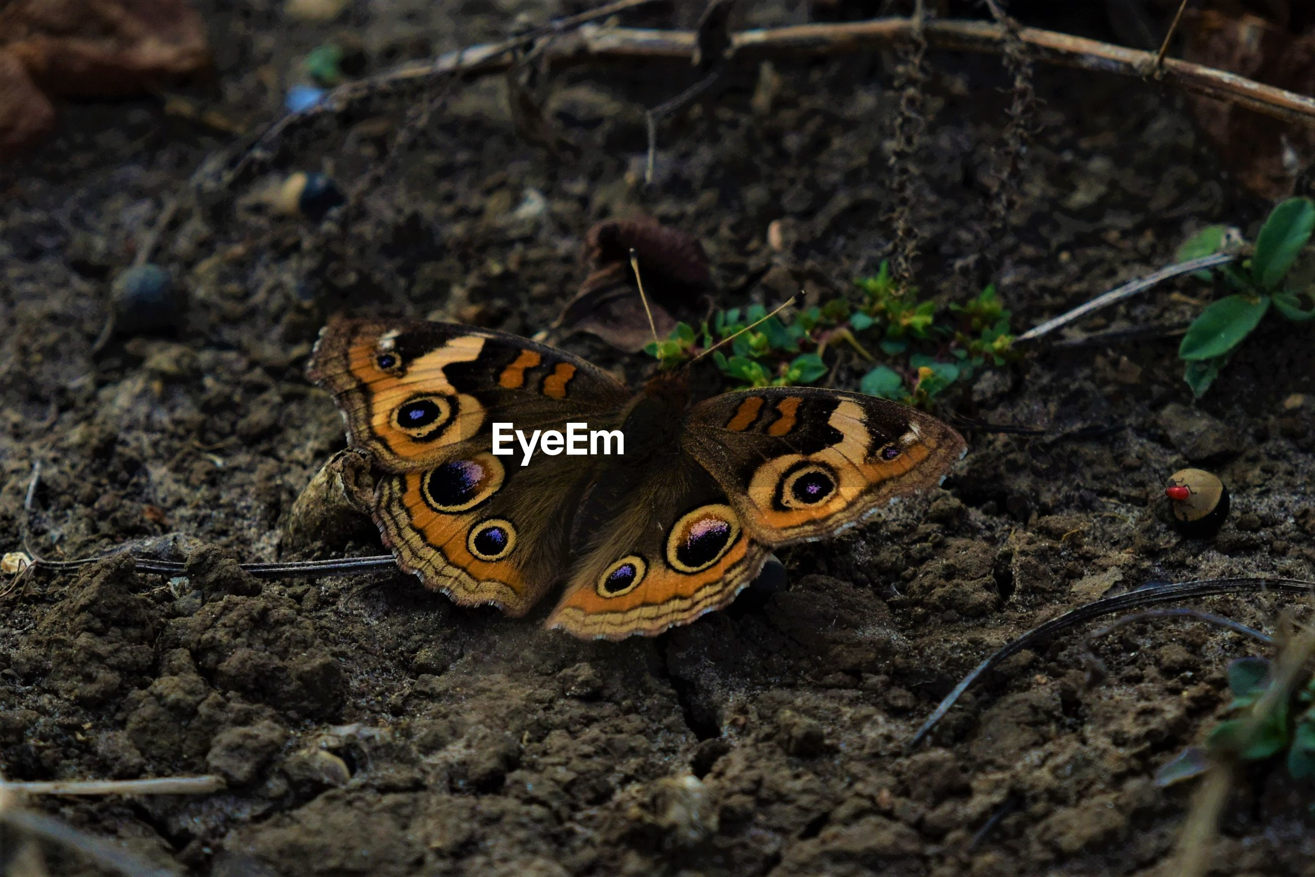 CLOSE-UP HIGH ANGLE VIEW OF BUTTERFLY ON GROUND