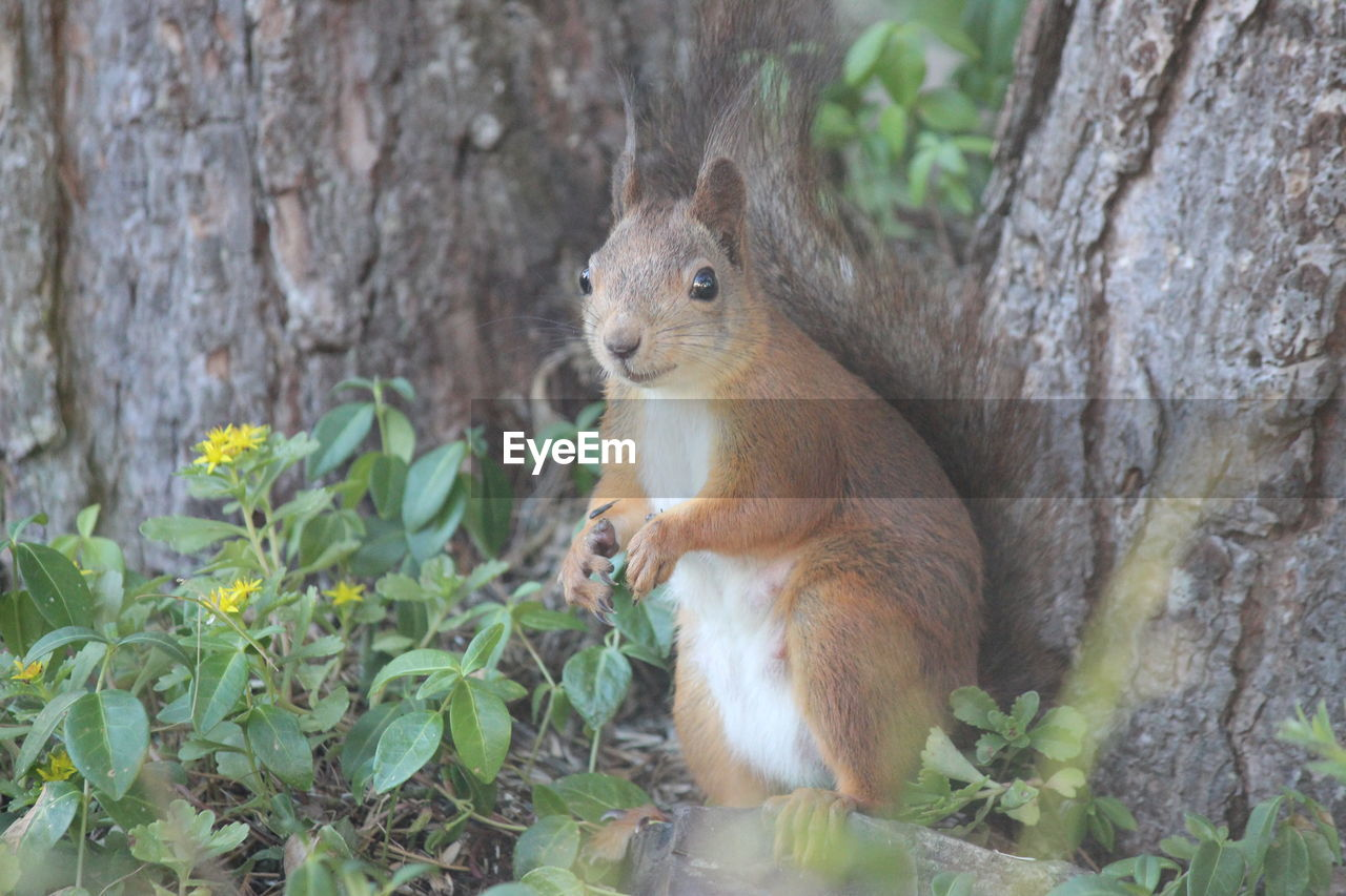 one animal, animal wildlife, animal themes, mammal, animal, animals in the wild, rodent, trunk, tree trunk, plant, tree, vertebrate, nature, squirrel, no people, day, plant part, leaf, focus on foreground, outdoors, whisker, herbivorous