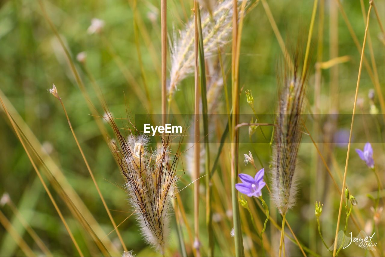 plant, growth, beauty in nature, flower, flowering plant, nature, field, vulnerability, fragility, close-up, land, day, freshness, green color, focus on foreground, no people, grass, tranquility, selective focus, purple, outdoors, blade of grass
