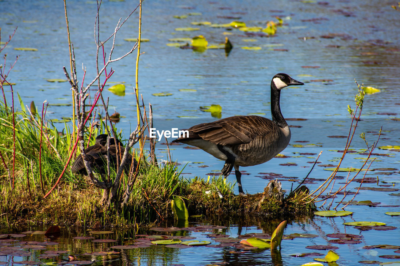 water, animal wildlife, lake, bird, animals in the wild, animal themes, vertebrate, animal, one animal, plant, no people, nature, water bird, beauty in nature, reflection, day, waterfront, heron, lakeshore