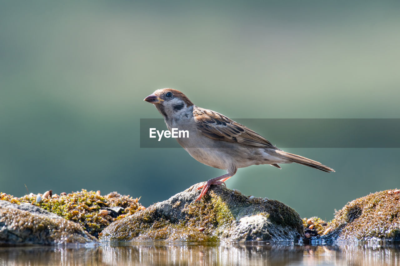 animals in the wild, one animal, animal themes, vertebrate, bird, animal wildlife, animal, perching, day, water, focus on foreground, nature, side view, lake, sparrow, beauty in nature, no people, full length, waterfront, outdoors