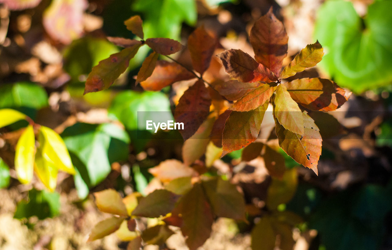 plant part, leaf, plant, growth, close-up, beauty in nature, nature, no people, autumn, day, selective focus, focus on foreground, change, leaves, green color, outdoors, tree, sunlight, freshness, vulnerability, natural condition