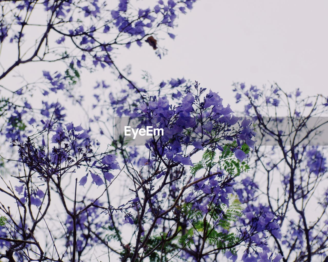 flower, nature, branch, beauty in nature, fragility, tree, blossom, springtime, growth, purple, low angle view, freshness, no people, outdoors, day, clear sky, close-up, blooming, sky, flower head
