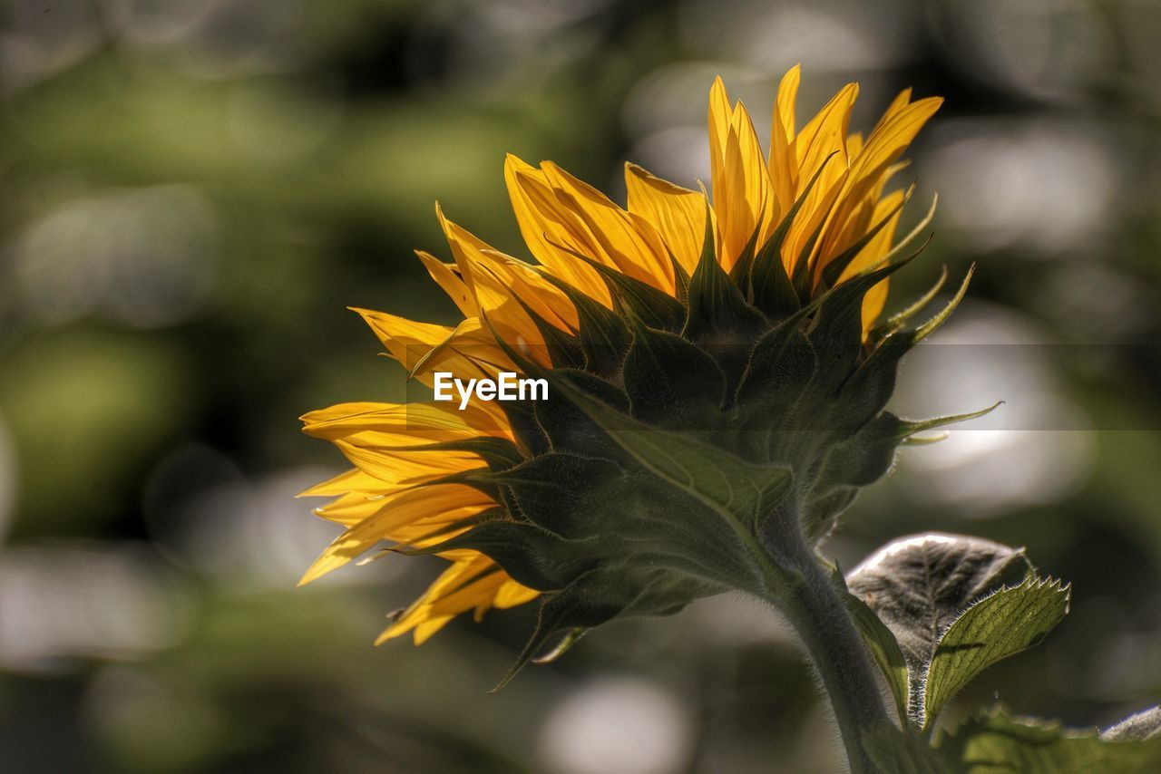 flower, flowering plant, yellow, growth, plant, beauty in nature, vulnerability, freshness, fragility, close-up, petal, flower head, focus on foreground, inflorescence, nature, no people, day, outdoors, plant stem, sunlight, sunflower, sepal