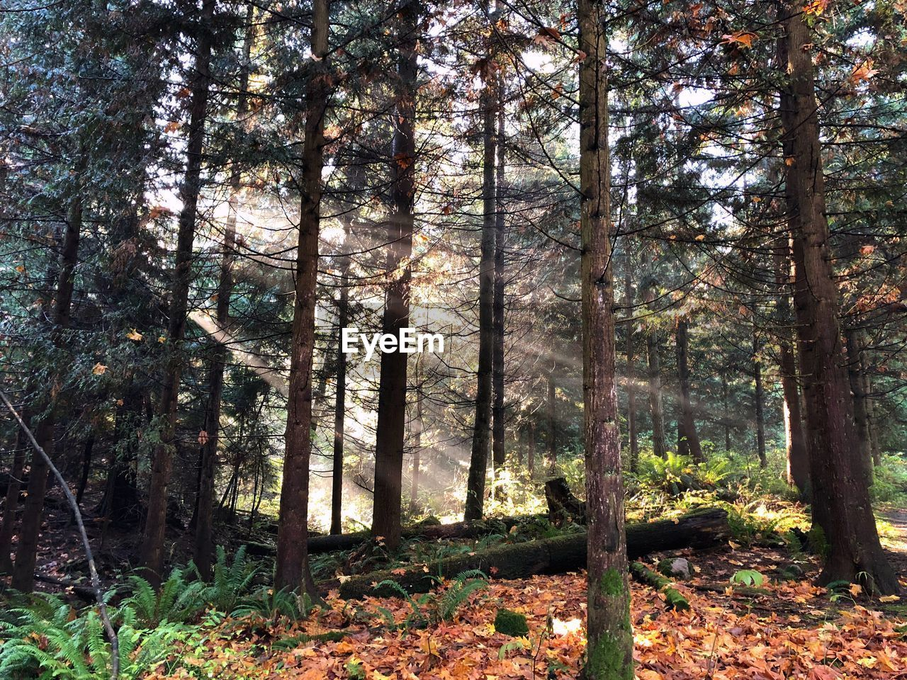 tree, forest, plant, land, woodland, tree trunk, trunk, nature, tranquility, day, growth, beauty in nature, no people, sunlight, autumn, tranquil scene, non-urban scene, outdoors, scenics - nature, plant part