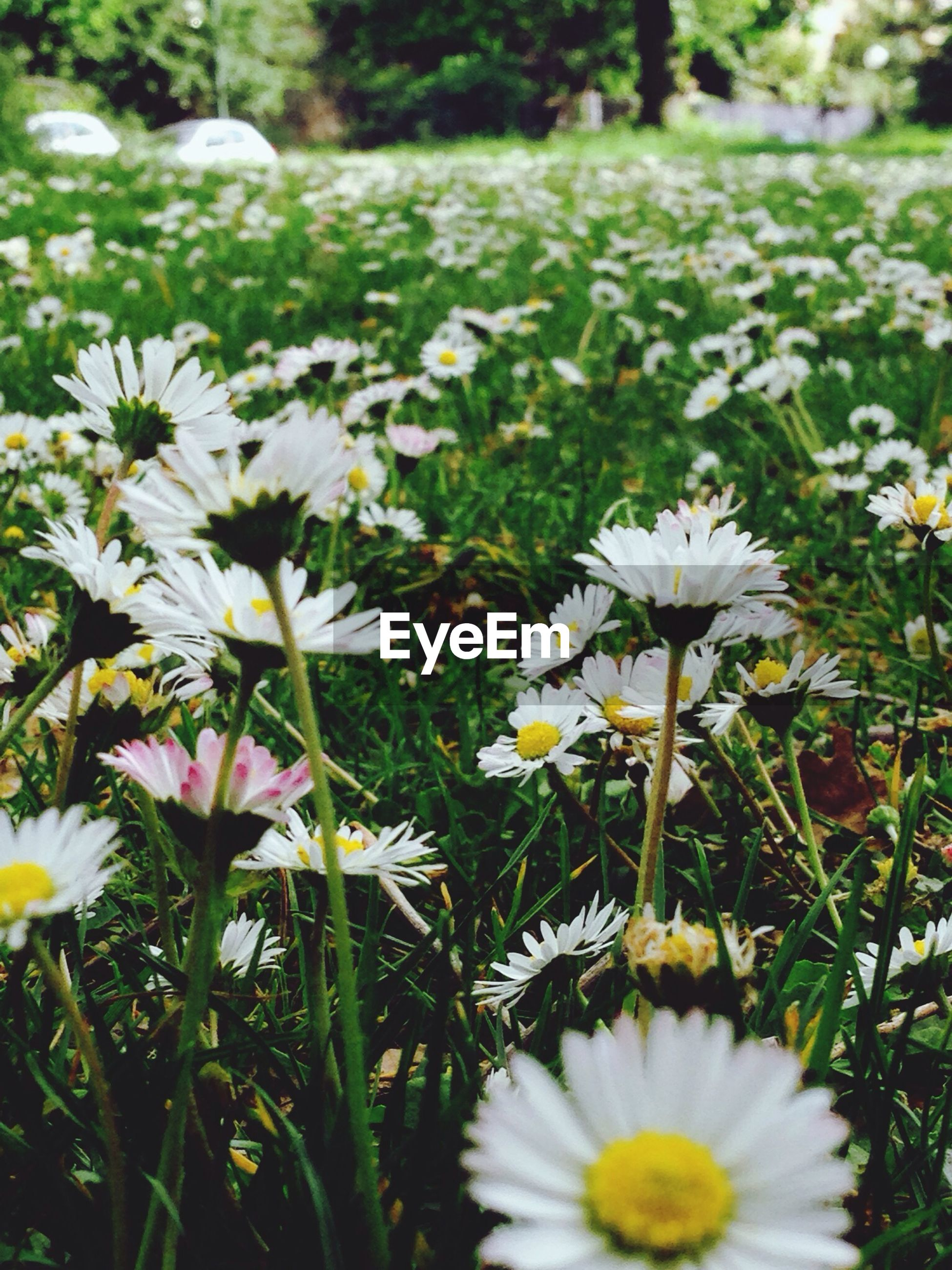 flower, freshness, fragility, growth, petal, white color, beauty in nature, flower head, blooming, field, nature, daisy, plant, focus on foreground, in bloom, grass, stem, wildflower, green color, blossom