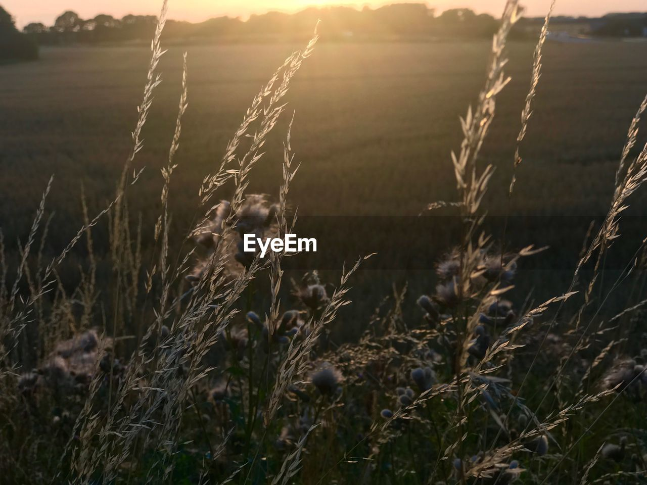 plant, land, tranquility, field, nature, sunset, beauty in nature, growth, tranquil scene, landscape, no people, sunlight, sky, environment, focus on foreground, close-up, scenics - nature, outdoors, day, rural scene